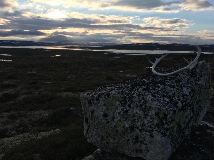 Reinsdyrgevir fra Hardangervidda
